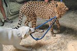 cheetah_bakka_miley_leash