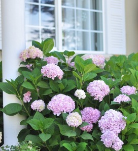 front-yard-hydrangeas